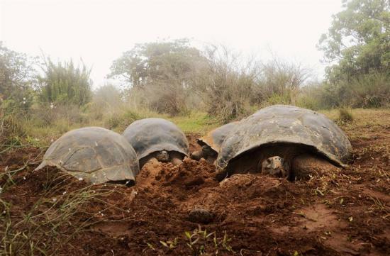Ecuador censará la población de tortugas gigantes en el volcán Alcedo