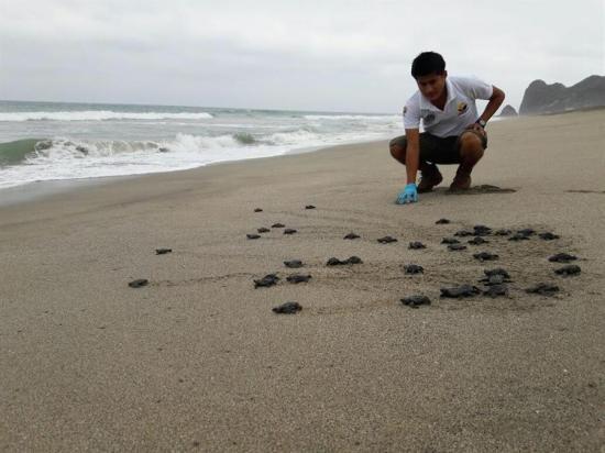 Más de 9.000 tortugas golfina nacieron en playa Las Palmas en Esmeraldas