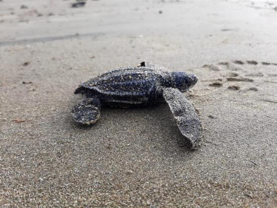 Nacen en Ecuador las primeras tortugas laúd en cuatro décadas