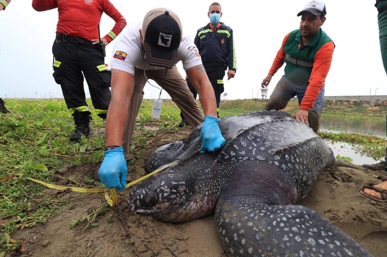 Encuentran una tortuga varada en la playa El Murciélago de Manta