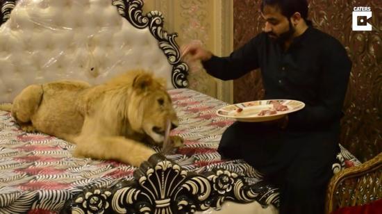 U hombre tiene un león de 76 kilos viviendo en su casa donde tiene hasta su propia cama