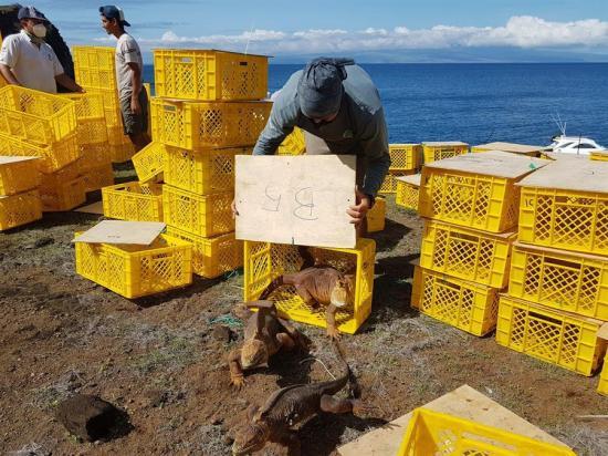Casi 500 ejemplares de iguanas extintas regresan a su hábitat en isla de Galápagos
