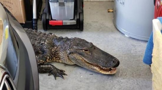 Una familia en EE.UU. encuentra un caimán de dos metros en su garaje de Florida