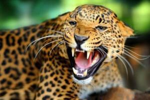Proponen que la moda 'pague' derechos al leopardo por imitar su piel
